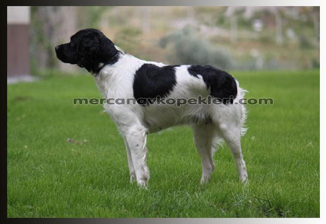 Breton Av Köpeği