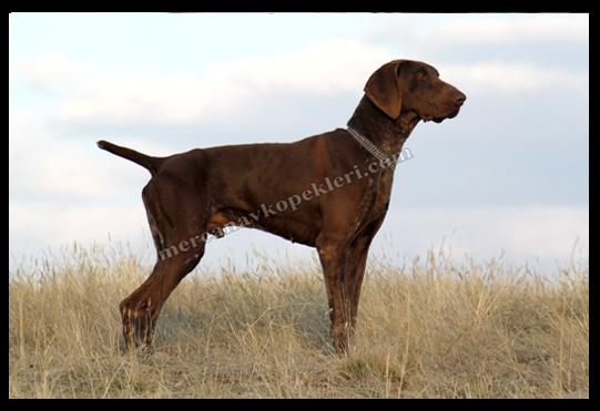 Alman Kısa Tüylü Pointer Kurzhaar av köpekleri