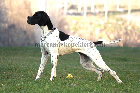 puanter Pointer av köpeği Ceyn vom Mercan Semeghini Roger Semeghini vlada von der posvage