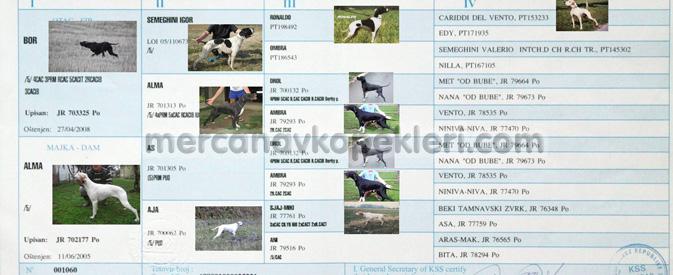 İngiliz Pointer Mercan av köpekleri