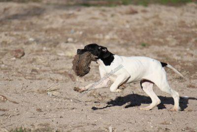 Satılık eğitimli av köpekleri