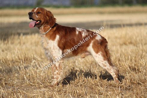 Breton Av Köpeği Fiyatı Özellikleri Irk Standartları