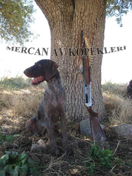 Drahthaar av köpeği satılık
